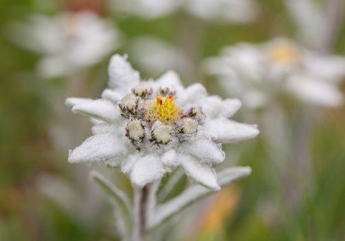 Edelweiss2klein